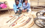 Cameroun : Deux trafiquants fauniques aux arrêts à Ebolowa