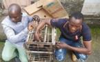 Cameroun: Deux trafiquants de chimpanzés arrêtés à Douala