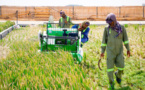 Dubai plans to expand Chinese saltwater rice into Arab world, Africa