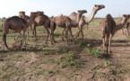 Tchad : une exportation illicite de 112 femelles dromadaires interceptée