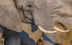 Trafic et commerce illicite d'ivoire, une disparition silencieuse des espèces protégées qu'il faut arrêter
