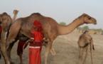 """Tchad : la vaccination doit être """"élargie aux dromadaires"""""""