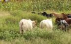 Tchad : plusieurs chantiers pour soutenir le secteur de l'élevage