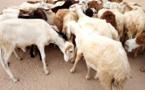 Des moutons dans un marché à bétail à Abéché (Tchad). © Alwihda Info
