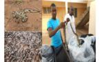 Le python royal bien que vénéré dans certaines localités au Togo, reste menacé d'extinction