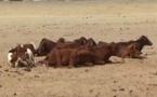 Tchad : des mesures pour la santé animale attendues