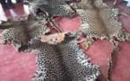 Cameroun/Loum : Des trafiquants de peaux de léopard arrêtés