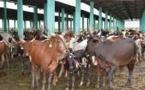 Tchad : à Mandélia, 65.000 litres de lait vont être produits chaque jour