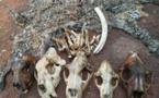 Cameroun/Yaoundé : Un policier au  tribunal pour trafic d'espèces sauvages