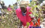 Tchad : au Sud, les champs pédagogiques présidentiels valorisent la filière coton