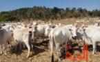 Le Tchad paye ses dettes avec des bœufs, face au manque de liquidités