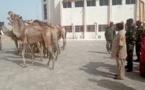 Tchad : des veuves de soldats offrent des chameaux à l'armée