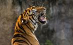 Coronavirus : un tigre testé positif à New York