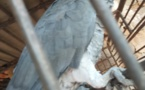 Cameroun/Yaoundé : Arrestation de deux trafiquants de perroquets gris