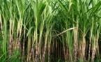 Sosucam : investissements dans la production sucrière