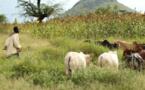 Conflits éleveurs-agriculteurs au Tchad : stratégie de l'évitement ?