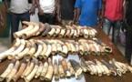 Côte d'Ivoire : Cinq trafiquants arrêtés avec 60 défenses