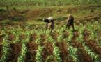 Afrique de l'Ouest : le CORAF et l'IFDC ciblent 600.000 producteurs