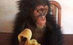 Cameroun : un homme arrêté avec un bébé chimpanzé à Nanga-Eboko
