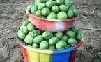 Tchad : avec ses nombreuses vertus, le karité inonde le marché au Sud