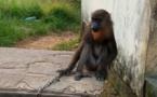 Cameroun : un agent communal de Kribi arrêté avec un mandrill vivant