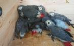 Cameroun : deux personnes arrêtées en possession des perroquets gris à queue rouge à Ebolowa