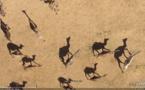 Tchad : Une maladie inconnue tue 390 chameaux