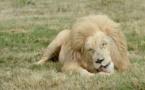 """""""Gagnez un lion"""".. offre d'un parc animalier au Zimbabwe!"""
