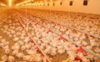 Cameroun : la grippe aviaire est de retour