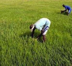 Tchad : le gouvernement rembourse des dettes aux producteurs de Laï