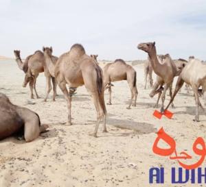 Tchad : vaccination du bétail contre les maladies épidémiologiques au Borkou
