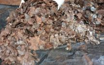 Les écailles de pangolin sont considérées comme ayant des vertus médicinales et sont utilisées dans la médecine traditionnelle chinoise.